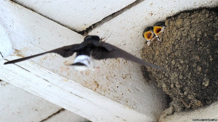 France's natural history museum estimates that the country's swallow population has decreased by 40% since 1989. According to ornithologists, the causes of the decline are agriculture and urban development.