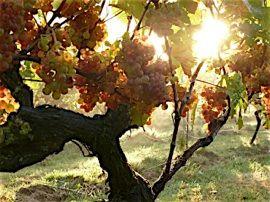 OATLEY VINEBLOG: kernling grapes in the morning sun, 2 weeks before harvest, 11 October 2014