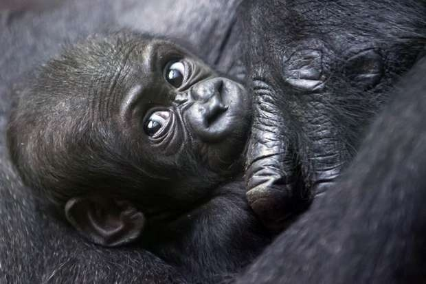 Mawimbi, a western lowland gorilla cub lies in the arm of its mother Mamitu in the Zoo of Zurich, Switzerland, Wednesday, Sept. 19, 2012.: Westerns Lowland, Gorilla Cubs, Cubs Lie, Animal Photo, Mothers Mamitu, Baby Animal, Zurich Switzerland, Alessandro Della, Lowland Gorilla