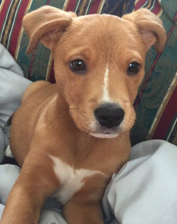 Golden retriever pit bull mix