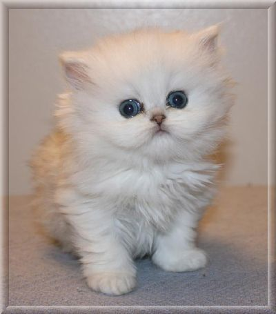 Chinchilla Silver Persian Kitten - #cat - Different Cat Breeds at Catsincare.com!