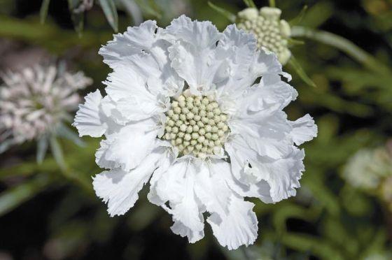 white scabiosa