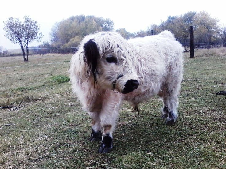 Mini Cows for sale and Fainting goats for sale at Our Little Acres in Rush City, Minnesota