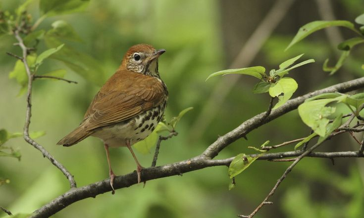 Wood Thrush - Introduction   Birds of North America Online