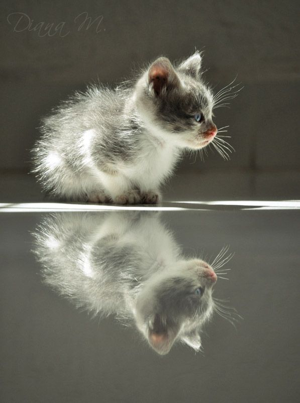 Kitten's reflection