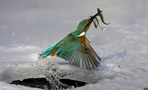 Ice fishing kingfisher