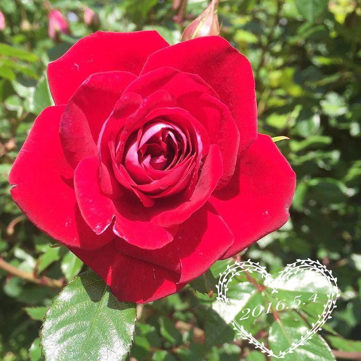 #薔薇#rose#7年目#ガーデニング#gardening#ばら#バラ#マイガーデン#garden#flowers#myrose#lovely#花のある暮らし#ショートケーキ  おはよー() 久しぶりに庭に出て愕然何本も枝が折れてる コソコソ義母に見られないように枝を固定してたらアラッヨッちゃん何してると見つかりまだそんな事したらダメやろと #バレテーラ #早く家の中に入りなさい #シブシブ  でも久しぶりに庭先に出たらショートケーキ が綺麗に咲いてました  今日からボチボチ晩御飯も作るよー 娘ちゃんもご飯運んでくれてありがと 助かったよー 兄ちゃんもおにぎり作ってくれてありがとう   あと残りわずかなGWを楽しみます by aramitetano
