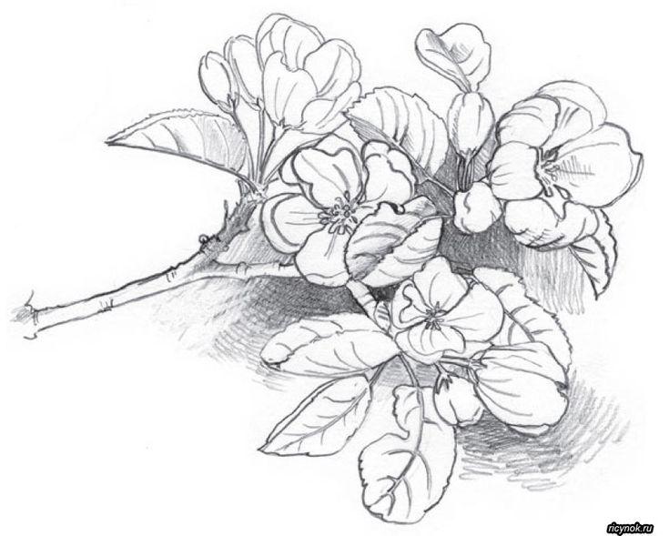цветы рисунок карандашом красивые