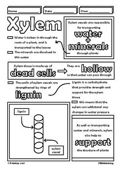 Xylem Phloem in Plants Biology Doodle Sheets Visual Guided Notes ...