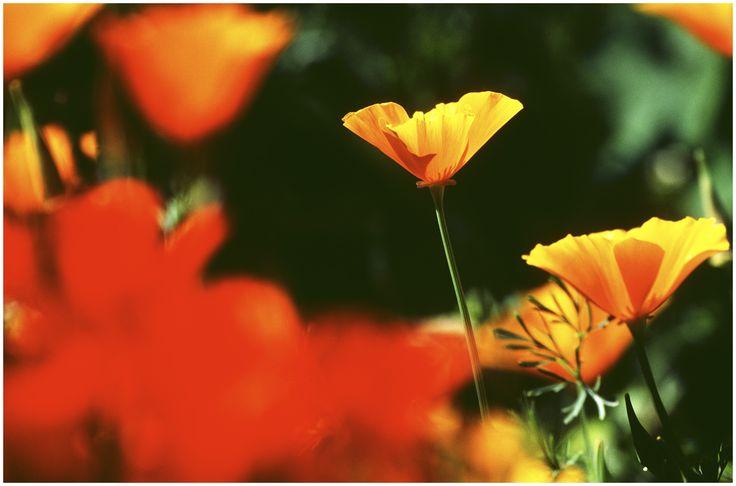 Poppy #flowers