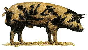 """At one time a breed called the Oxford Sandy and Black was found in Oxford County, England. The Oxford Sandy & Black Pig sometimes referred to as the """"Plum Pudding or Oxford Forest Pig"""" is one of the oldest British pig breeds, it has existed for 200-300 years. A traditional farmers and cottagers pig, of the middle part of the country, especially around Oxfordshire.It seems to be closely linked to the old Berkshire and Tamworth. Did it diverge from them? Or was it the result of crossbreeding…"""