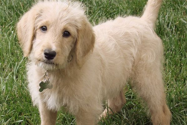 Mixed Breed Dogs For Allergy Sufferers