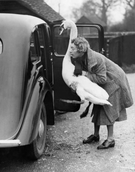 a pet swan named leila enjoys a ride to the shops. its owner mrs. watson of chesham, buckinghamshire, says that leila, who has been a family pet for two years, can open doors and is a good guard dog, england, 1936