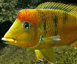 Geophagus pellegrini yellow humphead. photo credit: Lee Koon Lee. The yellow hump eartheater also known as Geophagus pellegrini is a gorgeous South American cichlid from Columbia.