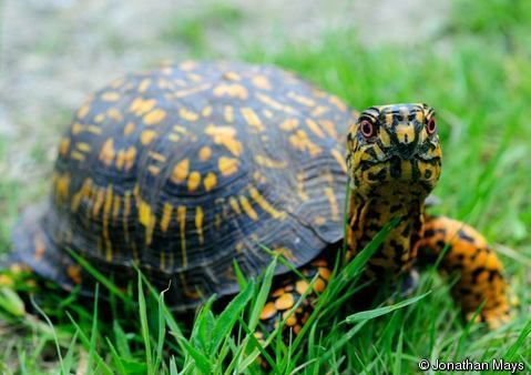 The Eastern Box Turtle (Terrapene carolina) is native to Canada, the USA and Mexico. It was uplisted from Low Risk/ Near Threatened to Vulnerable as the population decline probably exceeds 30%. The causes for this decline are not fully understood but comprise a mixture of habitat destruction and degradation, direct mortality from vehicle strikes, predation and collection for the pet trade; Photo by Jonathan Mays