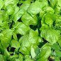 зелень семена
