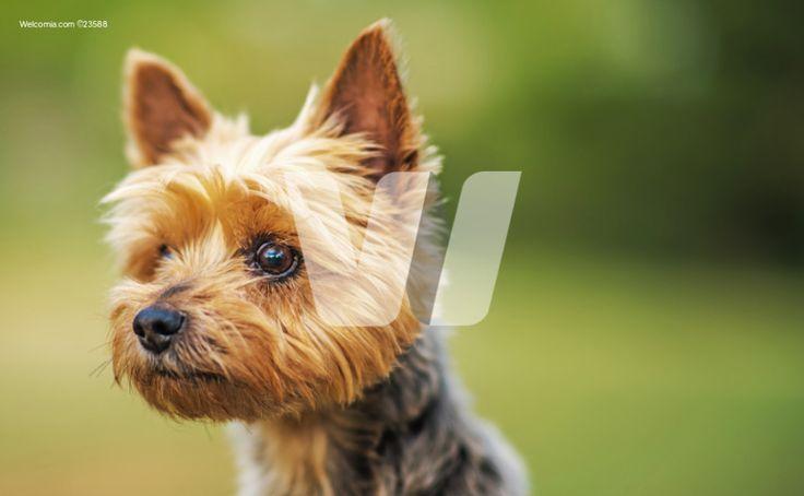 Ten Years Old Australian Silky Terrier Portrait Photo