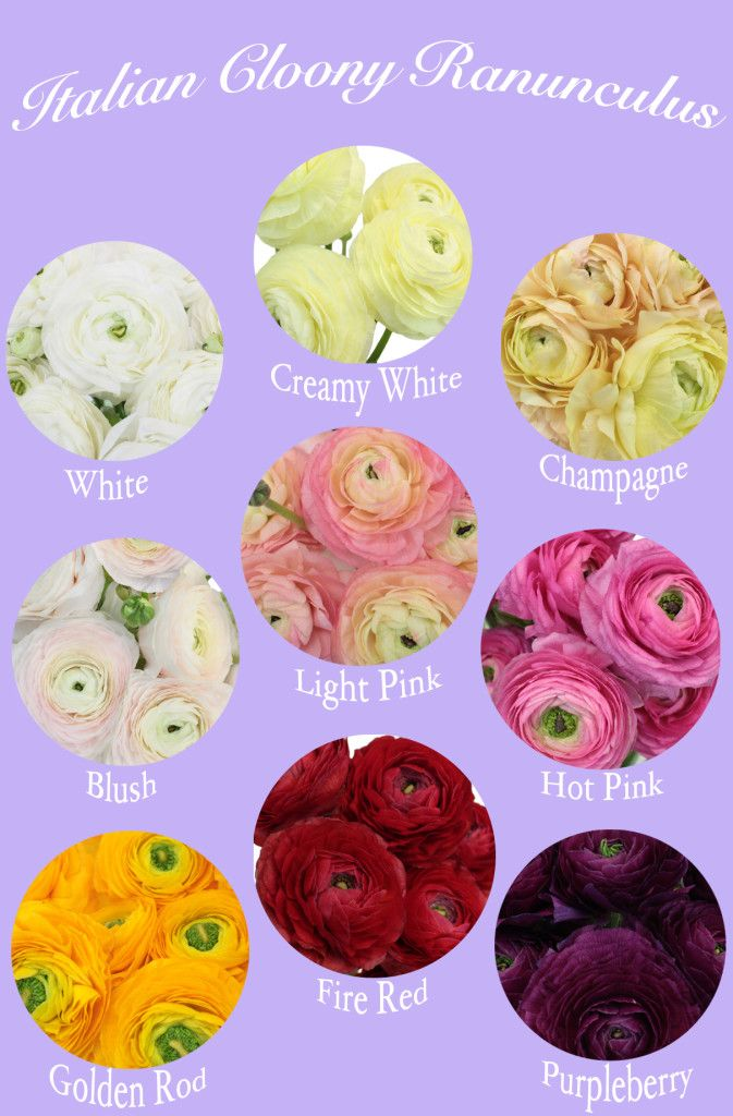 Flower Spotlight Cloony Ranunculus Fiftyflowers The Blog Ranunculus Flower Names Flower Arrangements