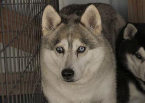 Colorado Springs Co Husky Meet Denali A Pet For Adoption Pet Adoption Dogs Pets