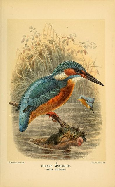 Coloured figures of the birds of the British Islands / issued by Lord Lilford..  London :R. H. Porter,1885-1897..