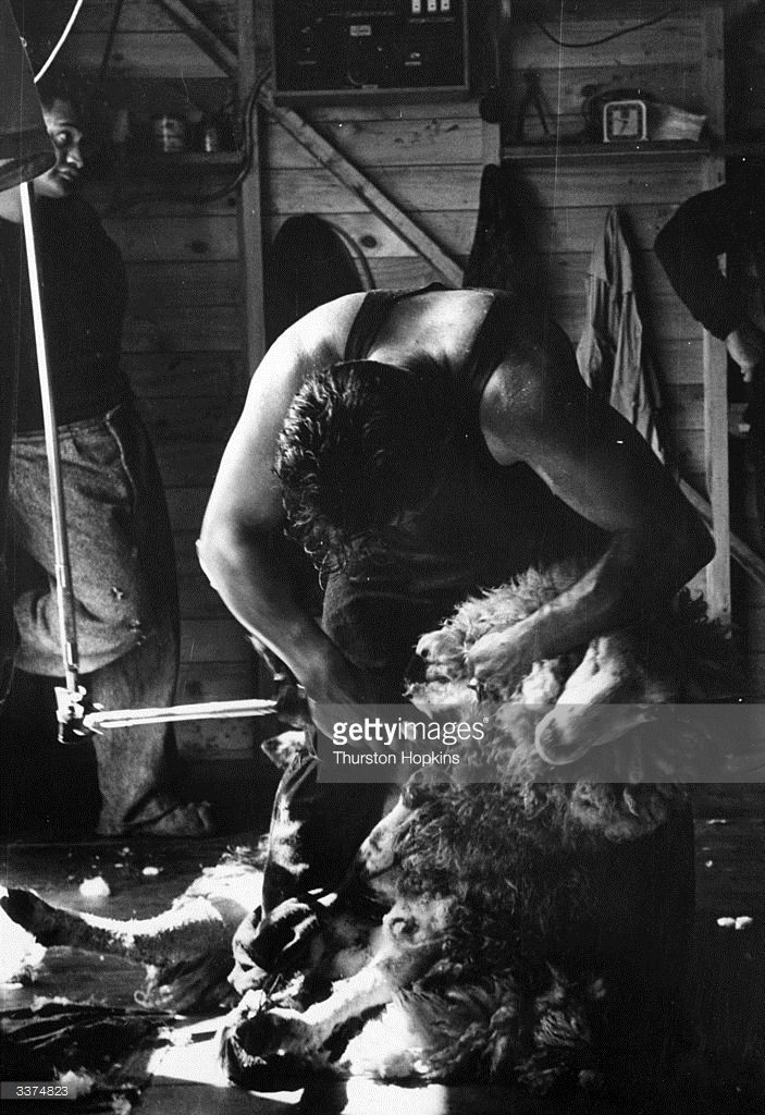 Manu Rangiawha attempting to beat the world sheep shearing record in New Zealand. He succeeded in shearing 404 sheep in just over seven hours before collapsing but did not beat Godfrey Bowen's 454 ewes in nine hours. Original Publication: Picture Post - 6832 - New Zealand Sheep Shearing - pub. 1953