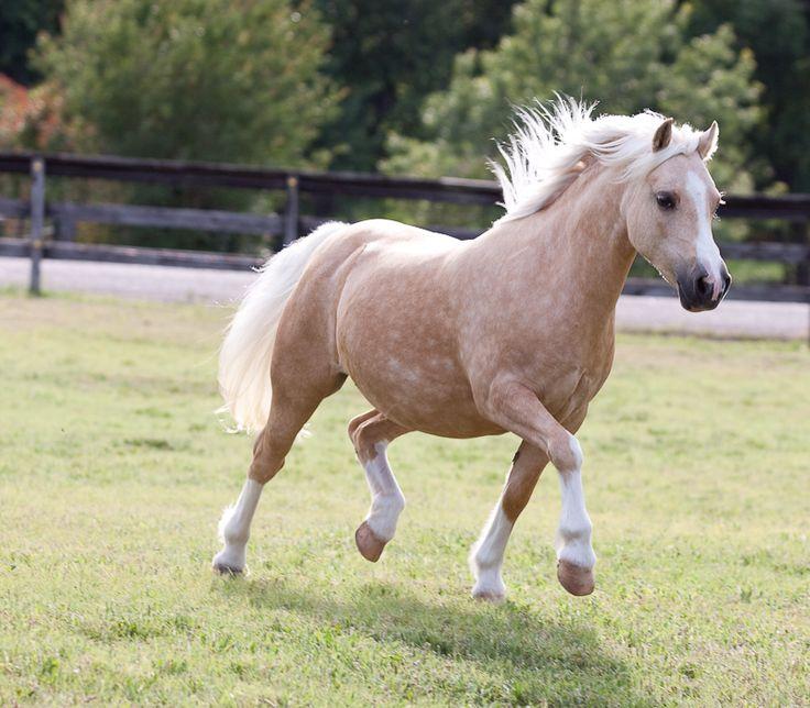 74 beste afbeeldingen over welsh mountain pony op pinterest pony 39 s welsh pony en paardensport. Black Bedroom Furniture Sets. Home Design Ideas