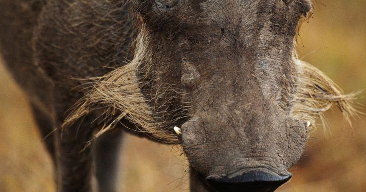 Como caçar javalis. Você pode caçar um javali (ou porco selvagem) em muitas regiões do sul do Brasil. A maioria dos caçadores escolhem utilizar um rifle, enquanto que os mais antigos preferem o arco e flecha tradicional.