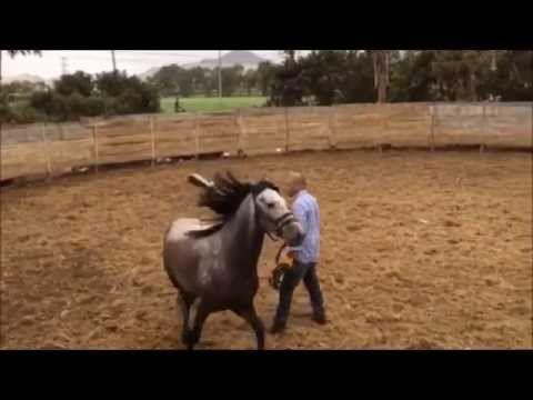Doma Natural de Caballo Peruano de Paso - potro de 4 años - YouTube