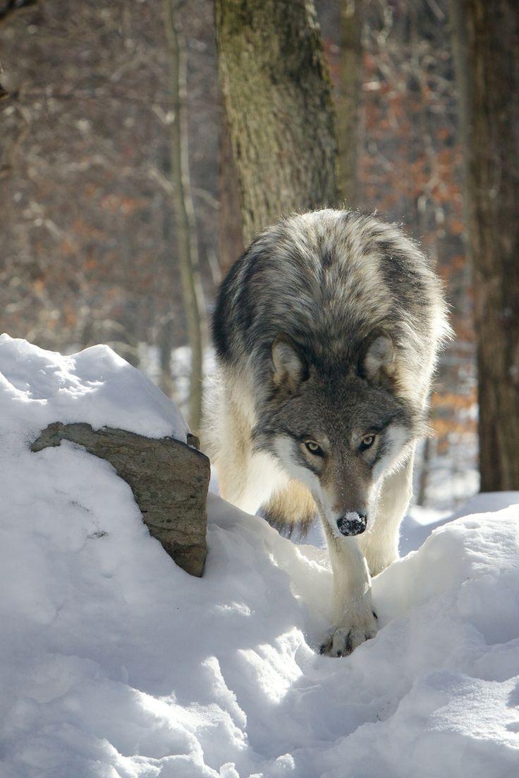 狼 / Wolf / Loup