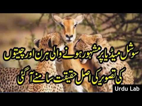facebook viral photo tiger and hirn ● Geo News ● Urdu Lab Latest News 12 Urdu Lab Latest News Pakistan no.1 youtube channel where you can find latest news  Subscribe our Urdu Lab Latest News channel for more updates  Visit our playlist for top Geo news  source