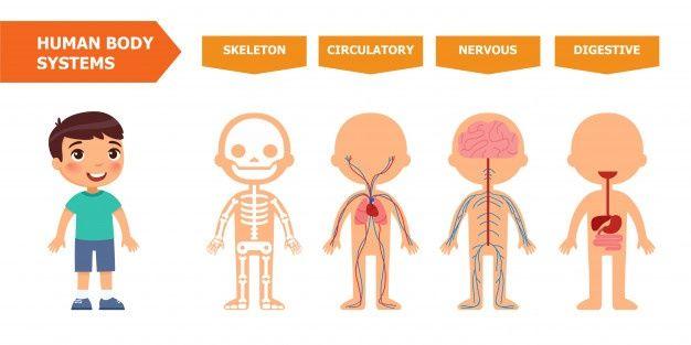 Sistemas Del Cuerpo Humano Banner Educativo Para Ninos Plantilla