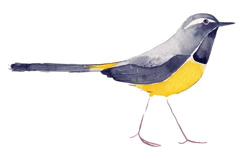 Grey Wagtail by Matt Sewell