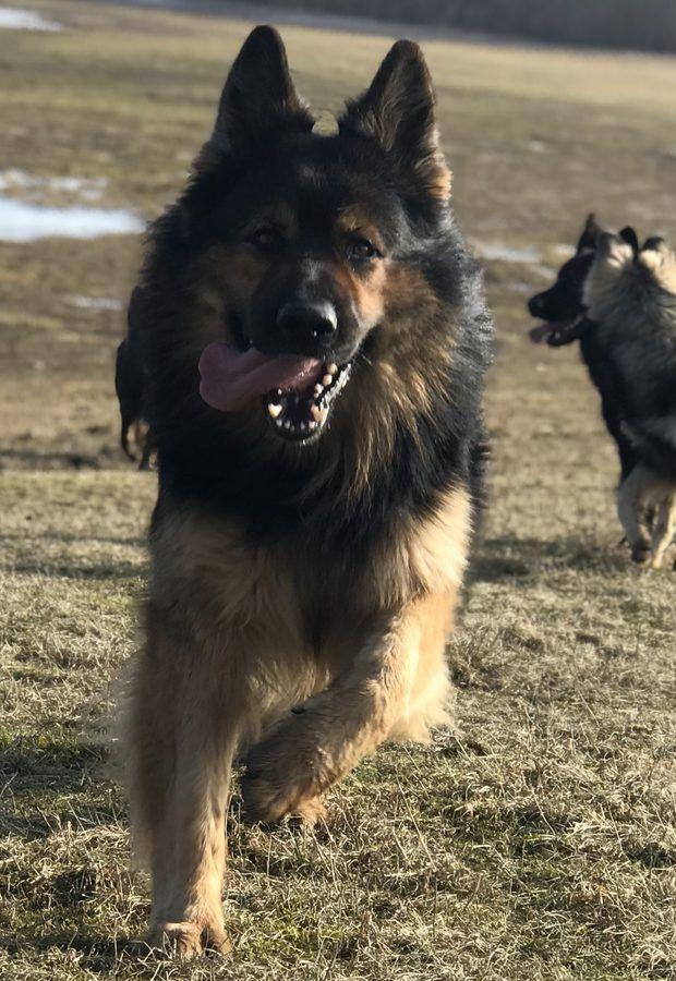 2018 Altdeutsche Schaferhunde Von Gignat Fairytale Shepherd Dog German Shepherd German Shepherd Dogs