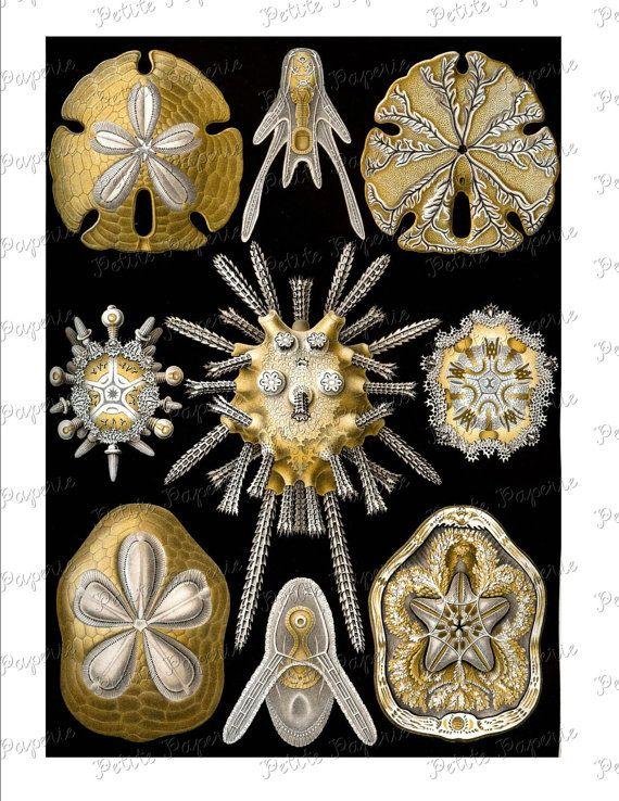 Haeckel Black and Gold Sea Life Digital Download Collage Sheet V – MogoM MogoM