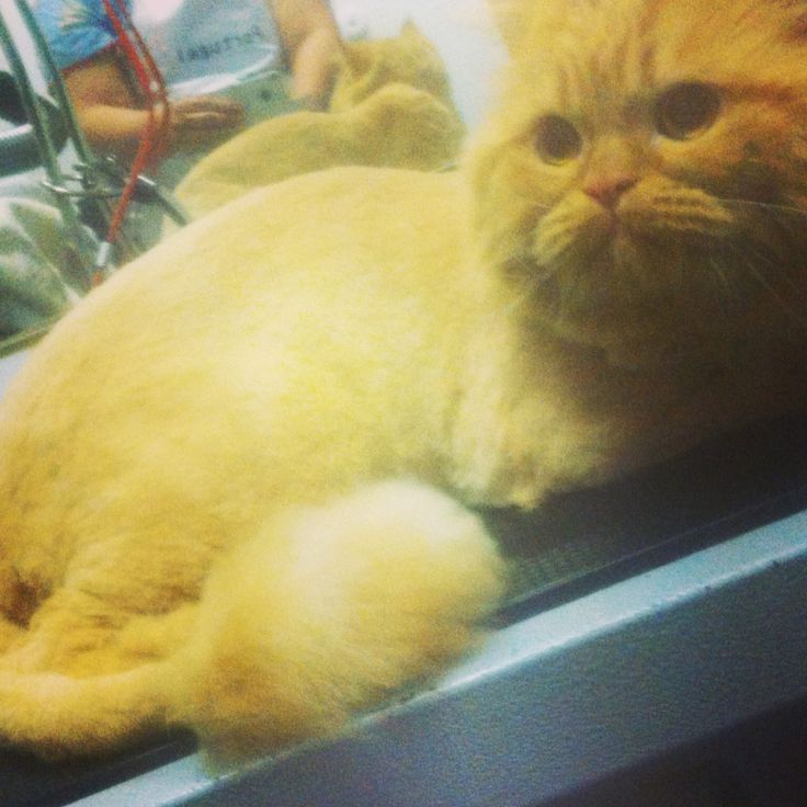Gato persa Garfildy