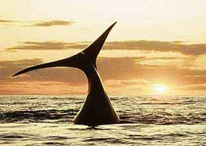 Africa Tamed Travel Blog - Hermanus, whale watching capital - July 2007
