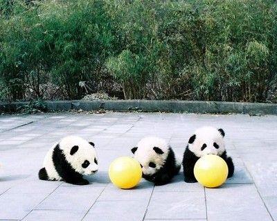 so_cute_baby_pandas_lols