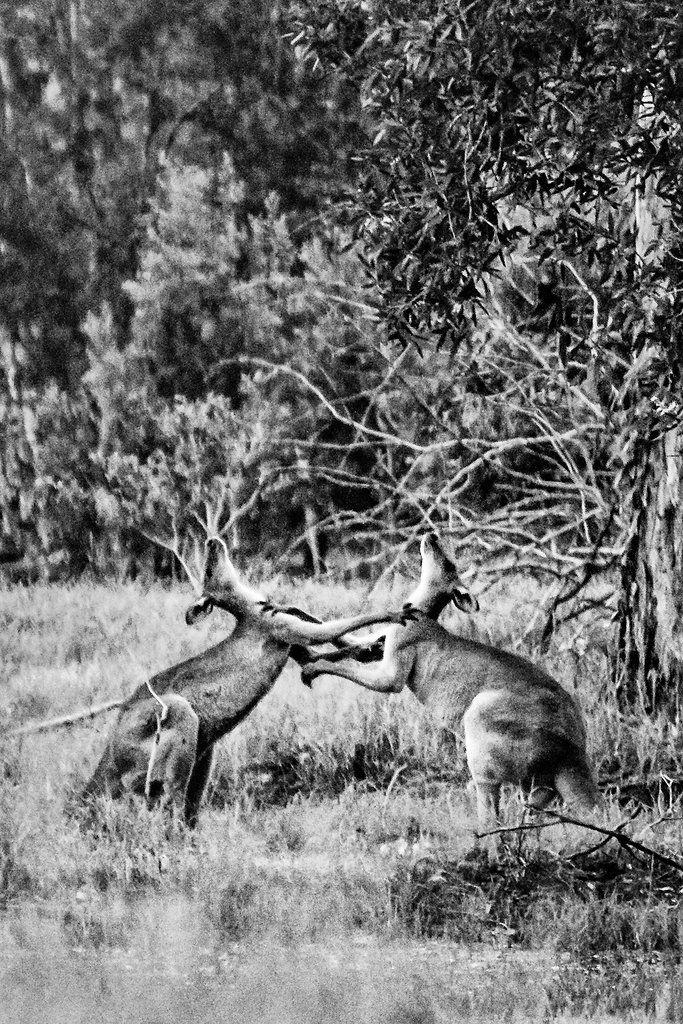 Fighting Kangaroos - Griffin, Brisbane, Australia - Zac Harney Photography