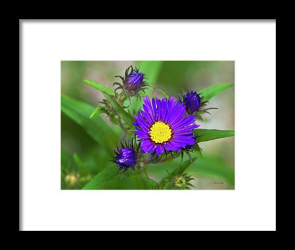 Purple Aster Flowers Framed Print By Christina Rollo All Framed Prints Are Professionally Printed Framed Assembled Flower Frame Aster Flower Framed Prints