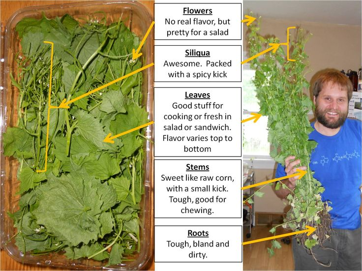 Great little posts describing different flavors of the different parts of garlic mustard. However, I disagree about the roots--mixed with a little vinegar they have a great spicy pungency.