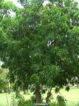 Azadirachta Indica Neem Tree  http://makinbacon.hubpages.com/hub/ornamentaltree