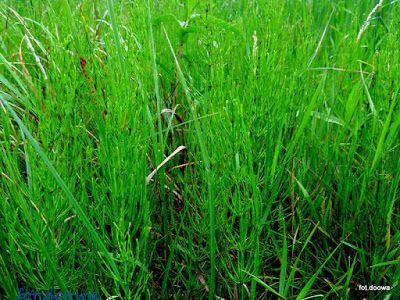 Moje Małe Czarowanie: Skrzyp polny - Equisetum Arvense