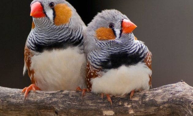 12 Spectacular Animals That Start With The Letter Z Zebra Finch