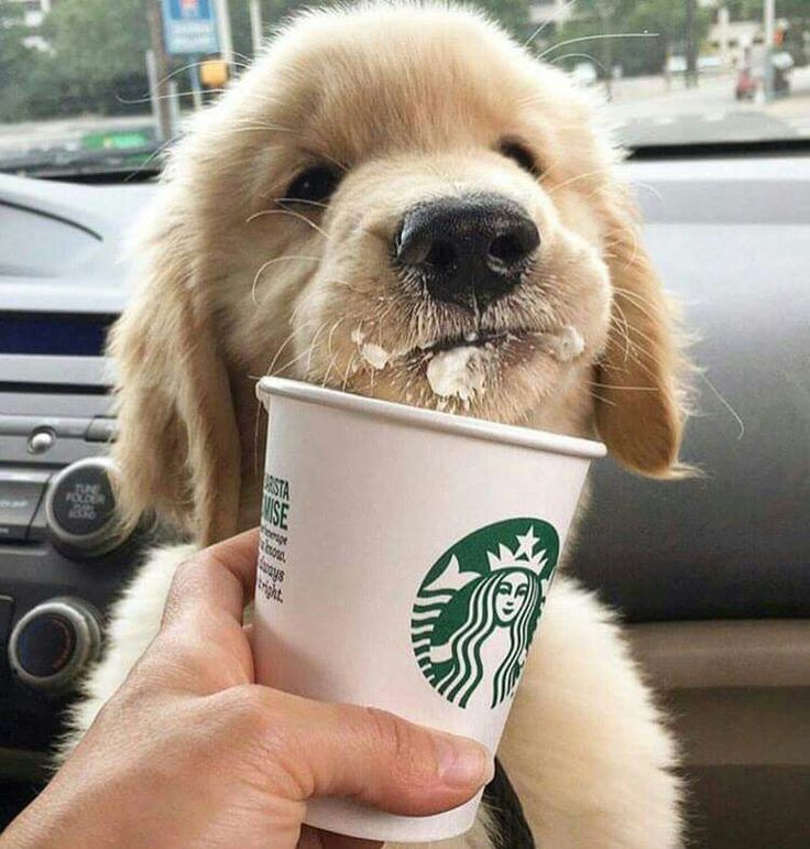 My fur babies got their first Starbucks Puppuccino, last week, #Dixie #libby