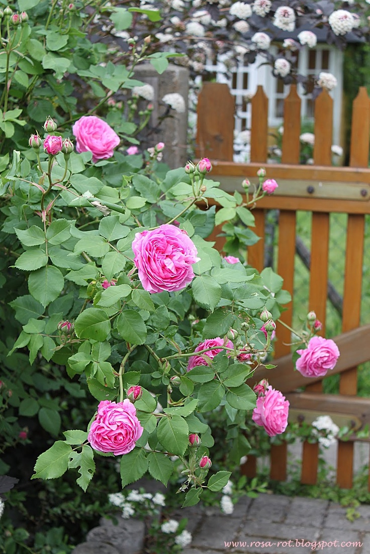 How to take care of roses - Learn More And Take Care Of Roses Gardening
