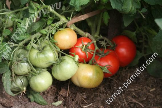 Форум - выращивание томатов, огород, дача - Монгольский Карлик 9 июля