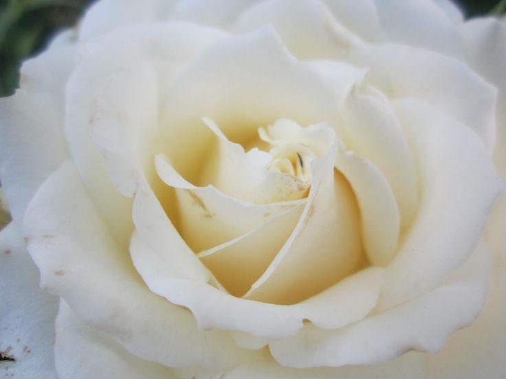 Роза ЧГ  Поларштерн Polarstern Полярная Звезда.  Бутон кремовый, либо цвета слоновой кости. В полураскрытом цветке в центре виден лимонный оттенок, но полностью раскрывшийся цветок сияющего белого цвета. Цветки густомахровые, лепестки изящно отгибаются вниз. Они очень плотные, так что сорт устойчив к дождю, бутон округлый и медленно раскрывается. В жаркую погоду роза полностью раскрывается и демонстрирует золотые тычинки. Все стадии раскрытия цветка привлекательны. Цветки практически всегда…