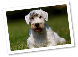 Sealyham Terriers originated in Wales in the 1800s to assist with hunting smaller critters. They are devoted family pets that may be reserved around strangers.