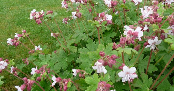 25 beautiful geranium macrorrhizum ideas on pinterest shade plants plants for shady areas. Black Bedroom Furniture Sets. Home Design Ideas