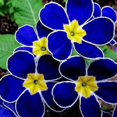 Blue primrose and many other beautiful exotic plants.